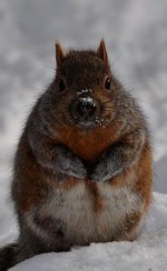 The Chubby Squirrels of Niagar