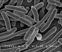 Bacteria image from NIH
