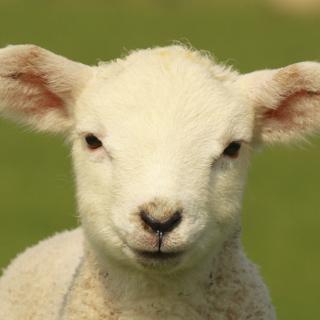 Lamb (square)